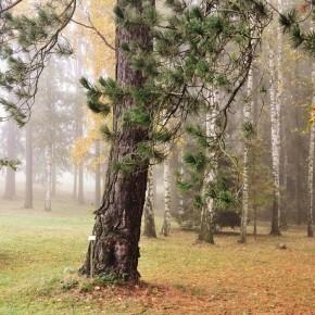 Středočeské stromy (8)